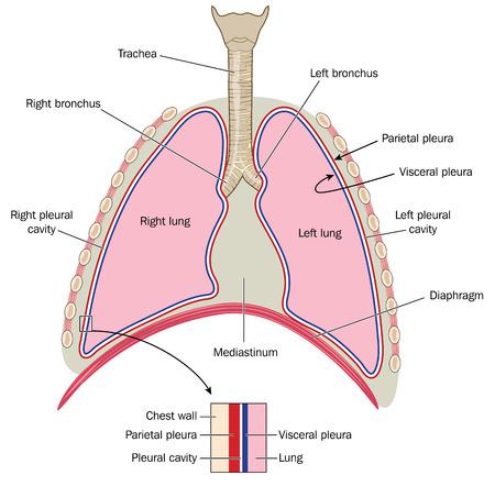 De longen luchtpijp en bronchiën mediastinum en detail van de borstwand en pleurae.