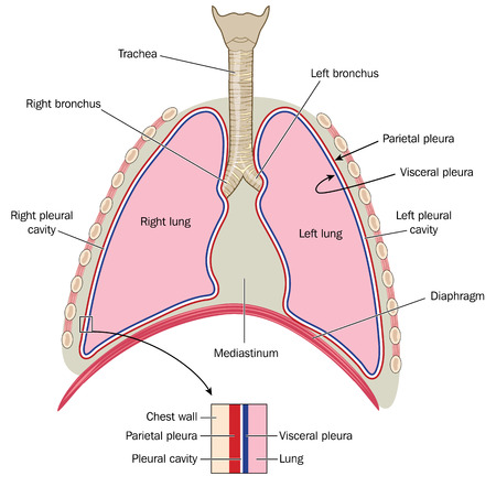 chest wall: The lungs trachea and bronchi mediastinum and detail of chest wall and pleurae. Illustration