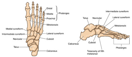 Bones of the foot lateral aspect and dorsal aspect. Created in Adobe Illustrator.  Contains transparencies.  EPS 10.