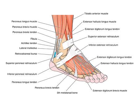 Los tendones y músculos del pie y el tobillo incluyendo los huesos apegos y retinaculae. Creado en Adobe Illustrator. Contiene transparencias. 10 EPS.