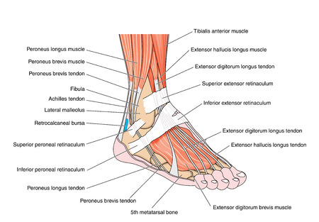 muscle anatomy: Tendons and muscles of the foot and ankle including the bones attachments and retinaculae. Created in Adobe Illustrator.  Contains transparencies.  EPS 10.