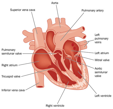 tricuspid valve: Cross section through the heart showing the major vessels and named valves. Created in Adobe Illustrator.  Contains gradient meshes.  EPS 10.