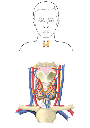 carotid: Location and relative anatomy of the thyroid gland showing the lobes blood supply and situation in the neck.