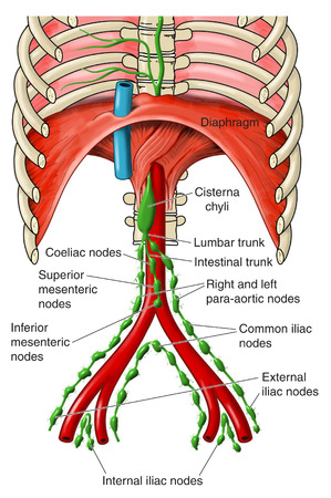 Abdominal lymph nodes from the iliac nodes to the cisterna chyli. Stock Photo