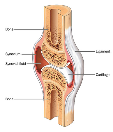 Cross section through a typical synovial joint showing the bone synovial membrane synovial fluid cartilage and ligament Stock Photo