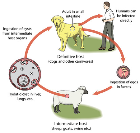 intermediate: Life cycle of tapeworm involving dog definitive host sheep intermediate host eggs and cysts. Illustration