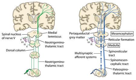 Diverse pijn paden naar de hersenen via het ruggenmerg, zenuwwortels, merg en mesencephalon. Gemaakt in Adobe Illustrator. EPS-10.