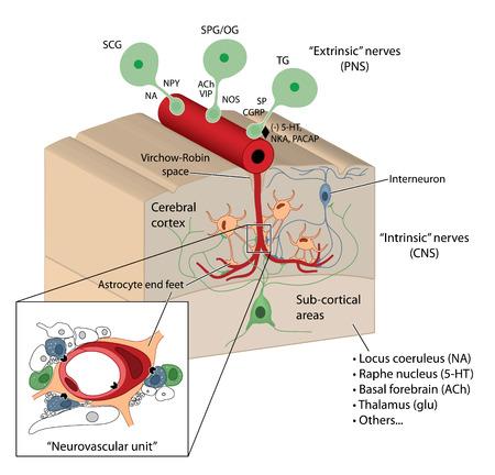 vasos sanguineos: Barrera hematoencef�lica que muestra el detalle de la unidad neurovascular, astrocitos y el espacio de Virchow-Robin VRS.