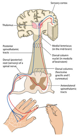 Sensory and motor nerve pathways from a stimulus to the sensory cortex and back to muscle. The mechanism for avoiding noxious stimuli. .  Contains transparencies.   Illustration
