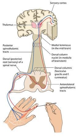 Vías sensoriales y nerviosas motoras de un estímulo a la corteza sensorial y de vuelta a los músculos. El mecanismo para evitar los estímulos nocivos. . Contiene transparencias. Foto de archivo - 44348795
