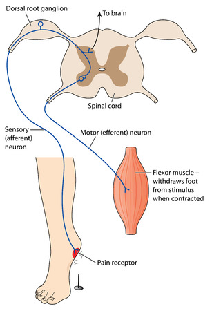 Sensory nerve message from pain stimulus crossing spinal cord to motor neuron to effect the pain reflex. Created in Adobe Illustrator.  Contains transparencies.