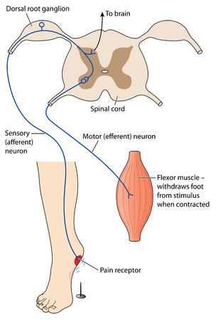 medula espinal: Mensaje del nervio sensorial del estímulo doloroso cruzar la médula espinal a las neuronas motoras para efectuar el reflejo del dolor. Creado en Adobe Illustrator. Contiene transparencias.