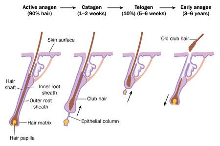 cabello: Ciclo de crecimiento del pelo, mostrando fase activa anágena, catágena, telógeno y fases anágena temprana. Creado en Adobe Illustrator.