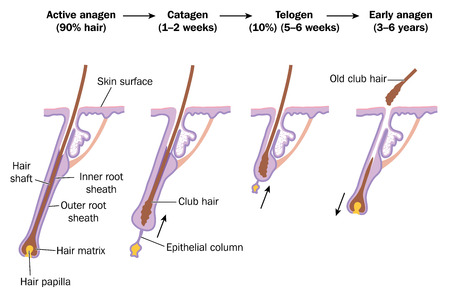 Hair growth cycle, showing active anagen phase, catagen, telogen and early anagen phases. Created in Adobe Illustrator. Illustration