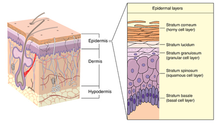 dermis: Cross section through skin, showing the various layers of the epidermis. Created in Adobe Illustrator. Illustration