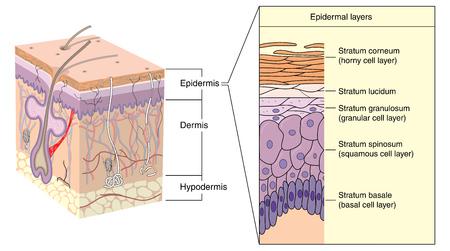 Sezione trasversale attraverso la pelle, che mostra i vari strati dell'epidermide. Creato in Adobe Illustrator. Archivio Fotografico - 44493562