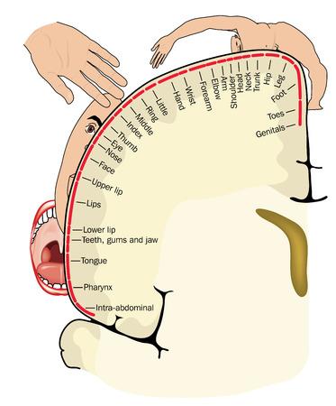 Penfield corticale lichaam kaart, of motorische homunculus, toont lichaamsdelen in kaart gebrachte gebieden van de hersenschors.