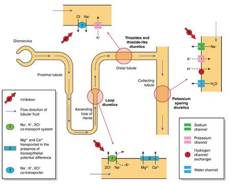 Site en werkingsmechanisme van diureticum drugs, het tonen ionentransport in verschillende delen van de nier tubulus. Gemaakt in Adobe Illustrator. Bevat transparante objecten. EPS-10. Stock Illustratie