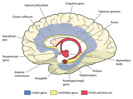 脳の大脳辺縁系と関連するすべての構造を示す断面