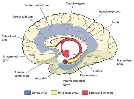 Sección transversal a través del cerebro que muestra el sistema límbico y todas las estructuras relacionadas