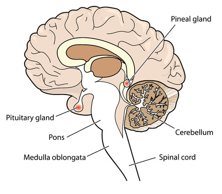 Cross section of brain showing the pituitary and pineal glands, cerebellum and brainstem. Illustration