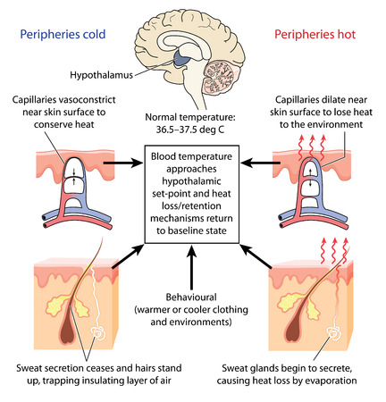 Control of body temperature  by the hypothalamus causing constriction or dilation of skin capillaries and sweat production. Created in Adobe Illustrator.  Contains gradient fills.  Illustration