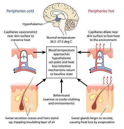 El control de la temperatura corporal por el hipotálamo causando la constricción o dilatación de los capilares de la piel y la producción de sudor. Creado en Adobe Illustrator. Contiene rellenos degradados.