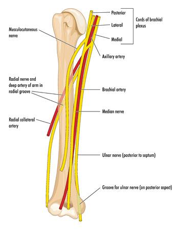 De belangrijkste zenuwen en slagaders van de bovenarm, met het opperarmbeen, oksel en brachialis slagaders en de radiaal, mediaan en elleboogzenuw.