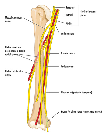 The major nerves and arteries of the upper arm, showing the humerus, axillary and brachial arteries and the radial, median and ulnar nerves.