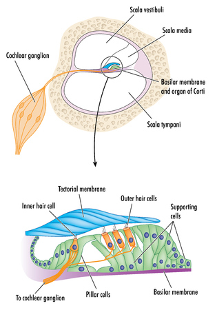 Cross section through the cochlea of the ear with detail of the organ of Corti, showing the tectorial membrane and cells responsible for hearing.