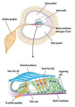 oido: Sección transversal a través de la cóclea del oído con el detalle del órgano de Corti, que muestra la membrana tectorial y las células responsables de la audición. Vectores