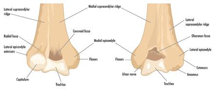 distal: El húmero distal que muestra las principales características anatómicas y sitios de grandes inserciones musculares.