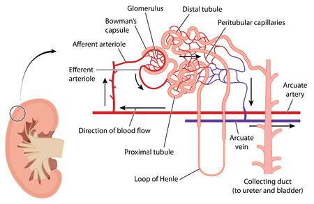 Dwarsdoorsnede door de nieren met detail van de niertubuli nefron en verwante bloedtoevoer. Gemaakt in Adobe Illustrator. EPS 10