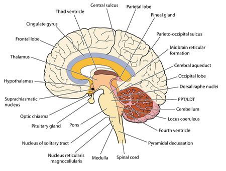 La sección transversal de iones cerebro que muestra las principales estructuras y ubicaciones de los núcleos basales. Creado en Adobe Illustrator. Foto de archivo - 46940819