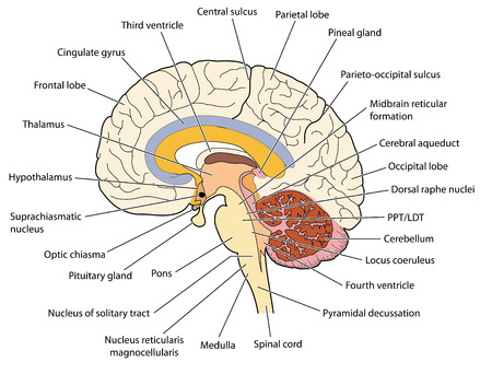 pituitary gland: The brain ion cross section showing the major structures and locations of the basal nuclei. Created in Adobe Illustrator.