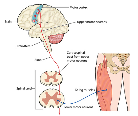 motor neuron: Motor nerves originating in the leg muscles traveling via the spinal cord to the motor cortex or the brain.  Illustration