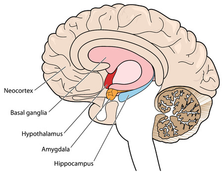 기저핵, 시상 하부, 편도체와 해마를 보여주는 단면 뇌 일러스트