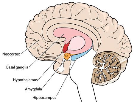 De hersenen in dwarsdoorsnede met de basale ganglia, hypothalamus, amygdala en de hippocampus