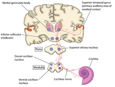 Auditory nerve pathways from the cochlea in the ear to the primary auditory area of the cerebral cortex.   イラスト・ベクター素材