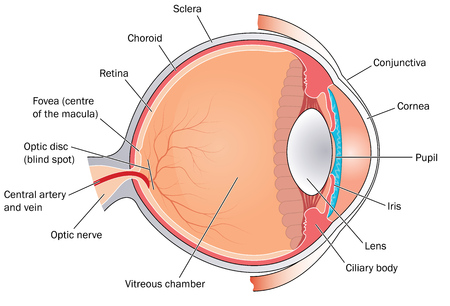 vitreous body: Cross section through the eye showing the major structures, chambers and muscle attachments. Created in Adobe Illustrator.
