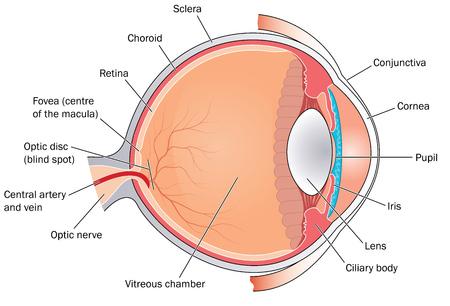 ojo humano: Secci�n transversal a trav�s del ojo que muestra la gran estructuras, las c�maras y las inserciones musculares. Creado en Adobe Illustrator.