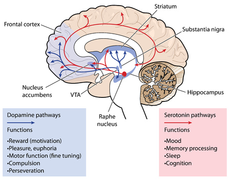 Cross section through the brain showing the dopamine and serotonin pathways affection mood, memory, sleep, pleasure, reward and compulsive behaviour.