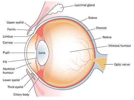 anatomia: dibujo médica para el área de los ojos Vectores