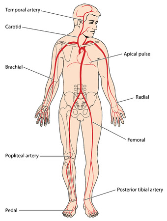 The major arteries and pulse points of the head, arms and legs. Created in Adobe Illustrator.  EPS 10.