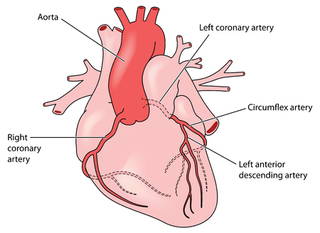 The coronary arteries of the heart, anterior view, including the left anterior descending artery. Created in Adobe Illustrator. EPS 10. Illustration