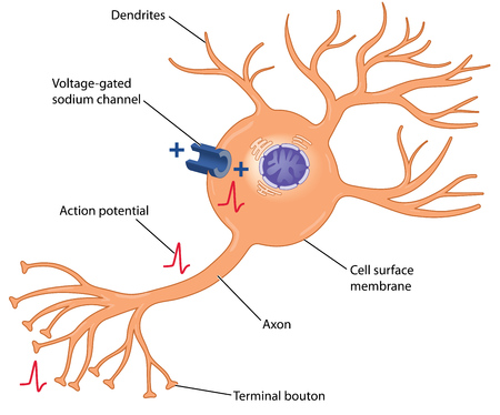 volt: Development of an action potential in a nerve cell through the action of a voltage-gated sodium channel in the cell body. Created in Adobe Illustrator.  EPS 10. Illustration