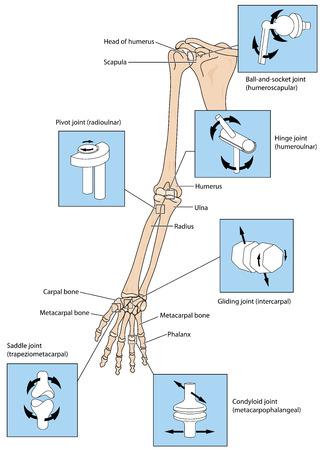 articulaciones: Varios tipos de articulación, ilustrados por las articulaciones de la extremidad superior de la escapular a los dedos. Creado en Adobe Illustrator. 10 EPS.