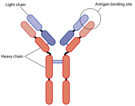 antigen: Basic structure of an antibody, showing the light and heavy chains plus the antigen binding site.