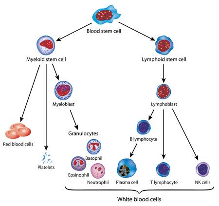 Ontwikkeling van bloedcellen uit bloed stamcel tot de rode en witte bloedcellen. Stock Illustratie