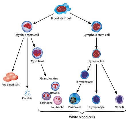 Development of blood cells from a blood stem cell to the red and white cells.
